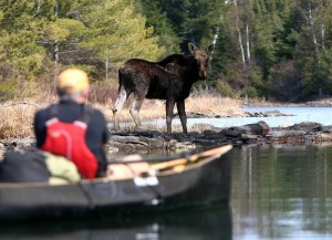 A paddler comes upon a moose on Knife Lake in the the Boundary Waters Canoe Area Wilderness east of Ely. (Sam Cook photo)